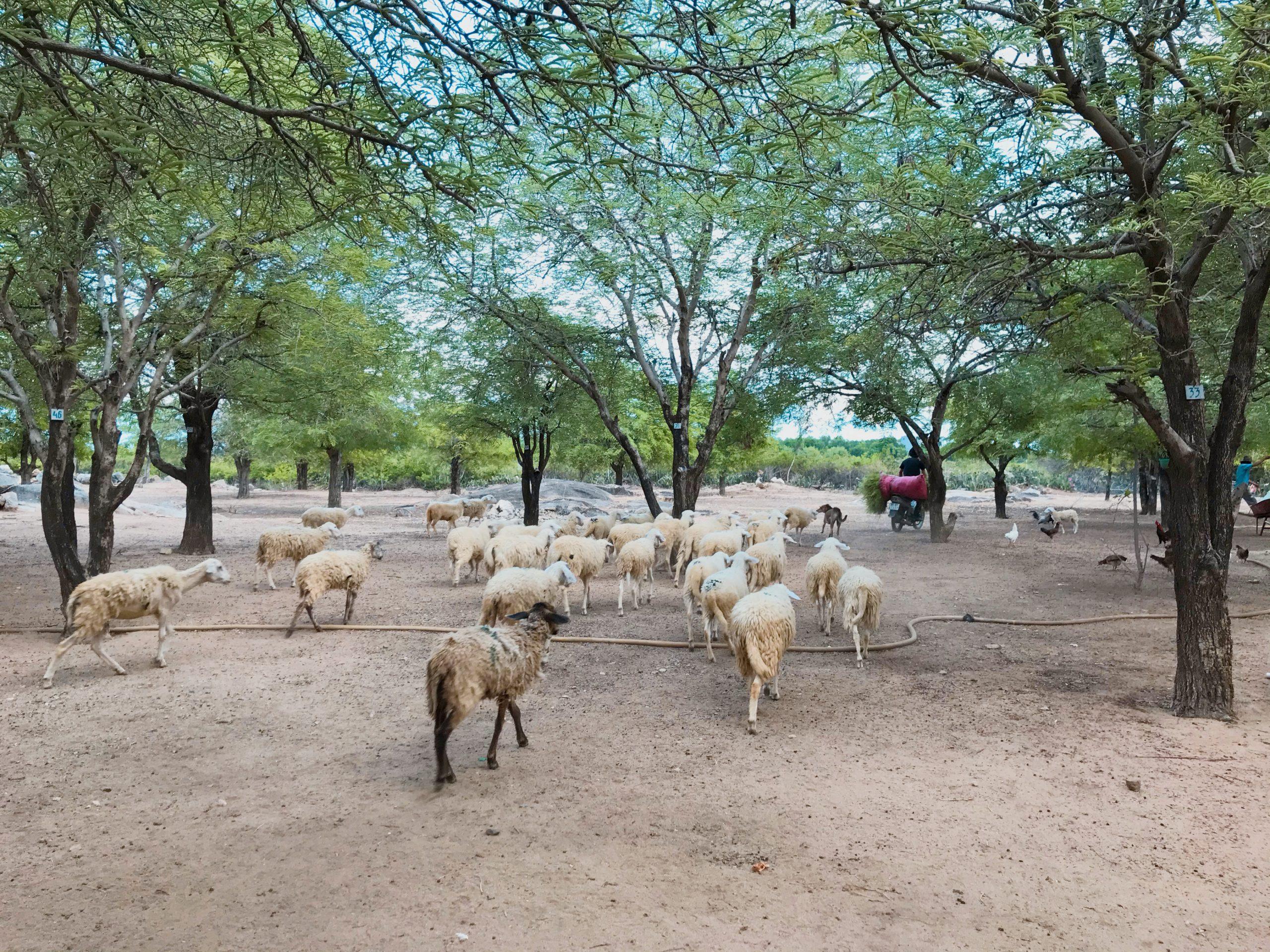 ĐỒi cừu An Hòa