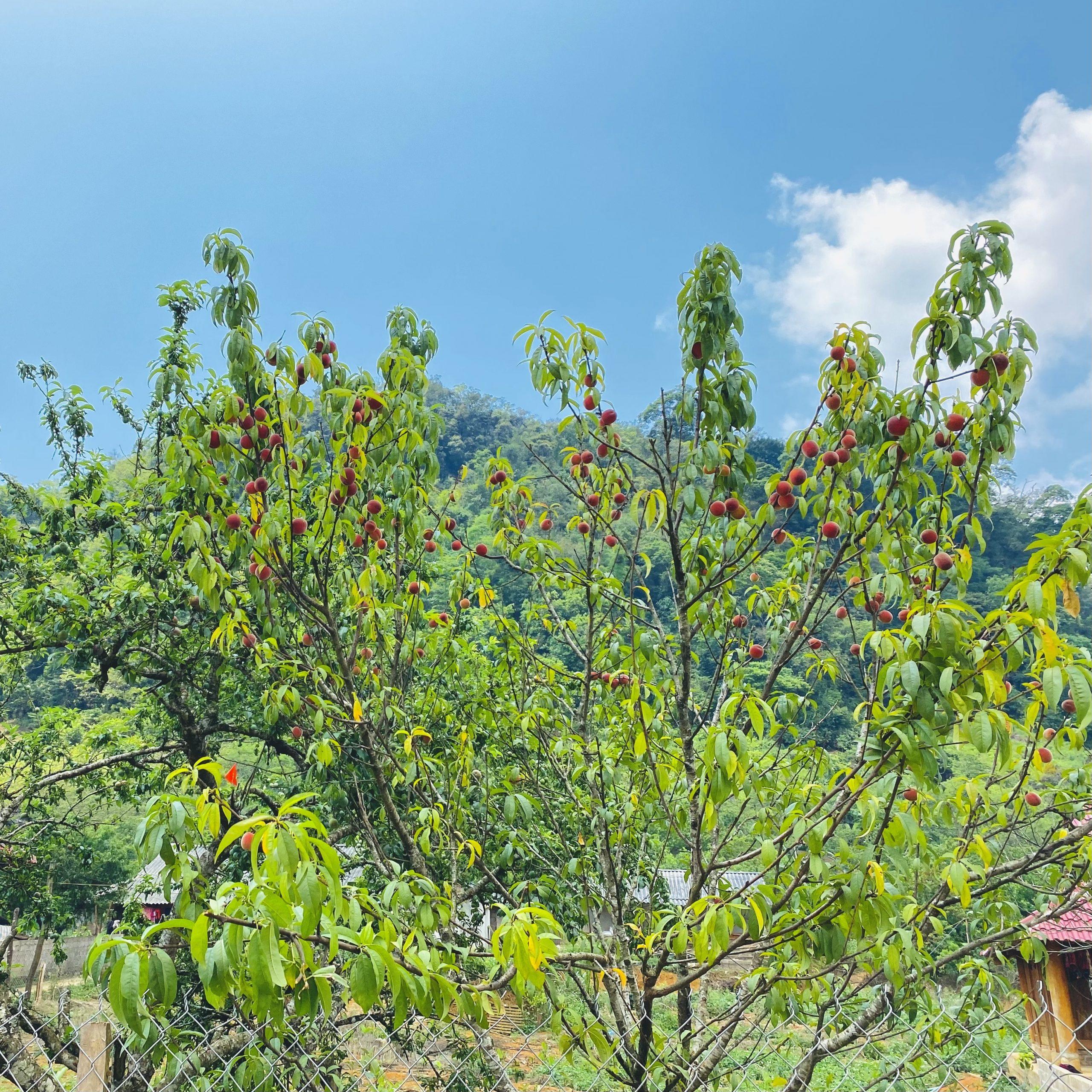 Đào Mộc Châu