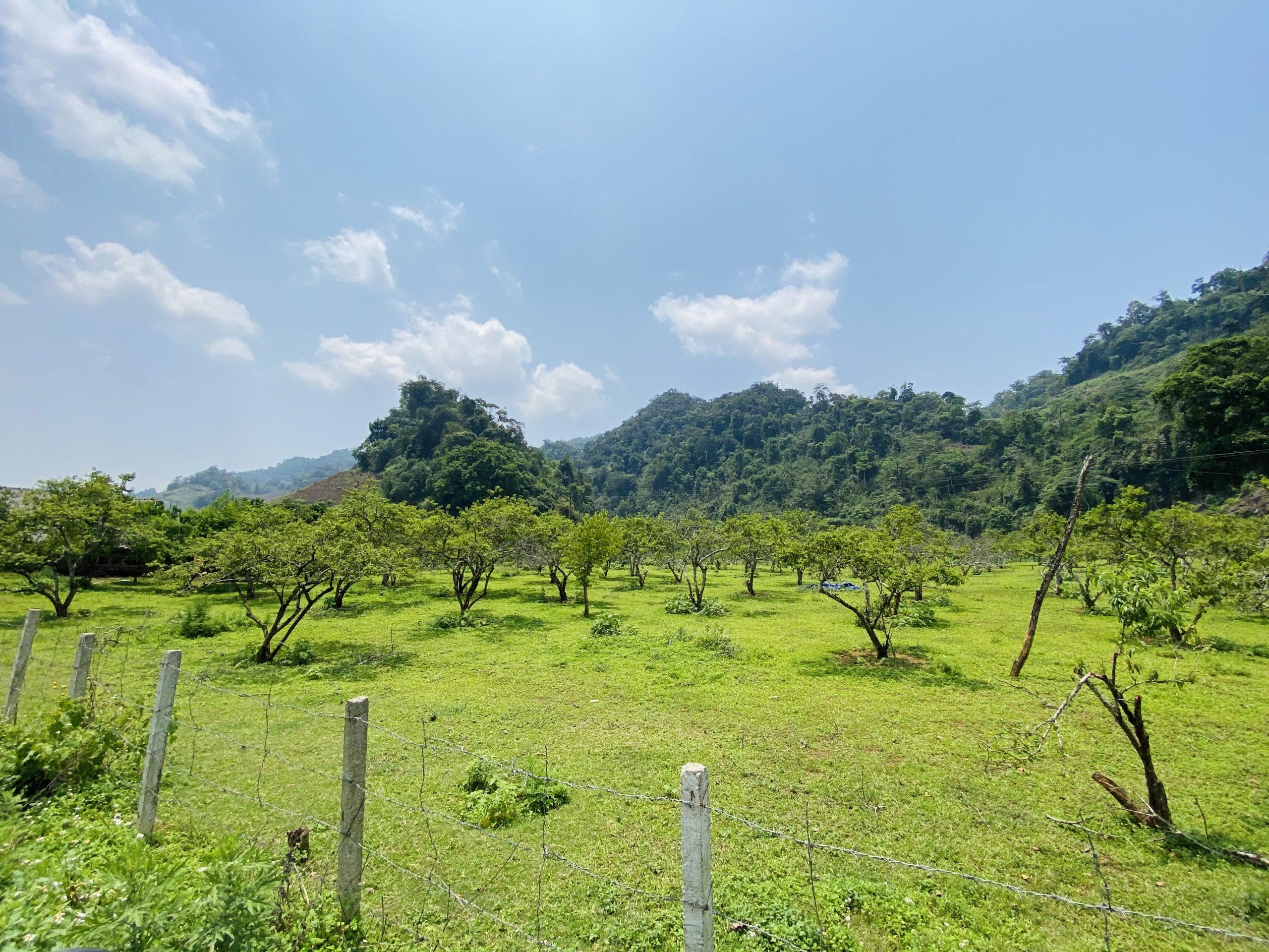 Vườn Mận Mộc Châu